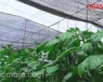 casa-sobra reduce los rayos UV en cultivos