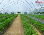 cultivo de fresas en hidorponia