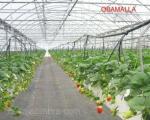 producción de fresas en invernadero